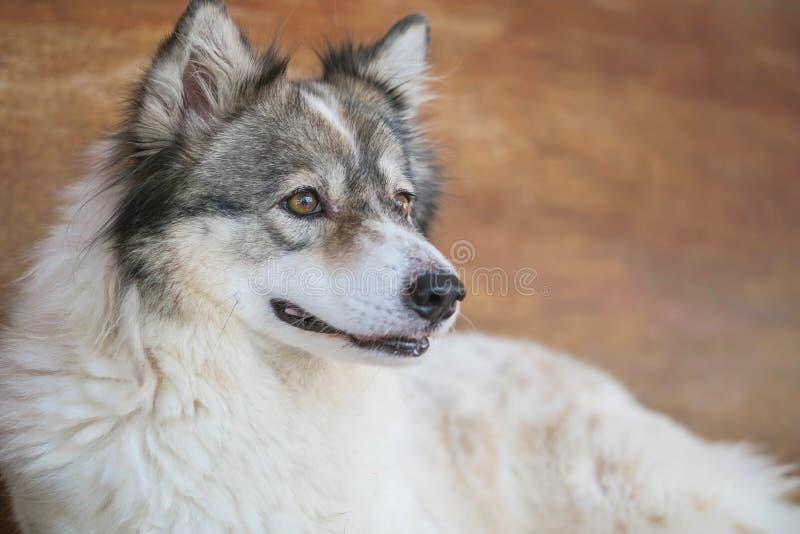 Bangkaew de cristal de la llamada de la raza del perro de Tailandia del primer que se sienta en fondo de madera borroso de la sil foto de archivo libre de regalías