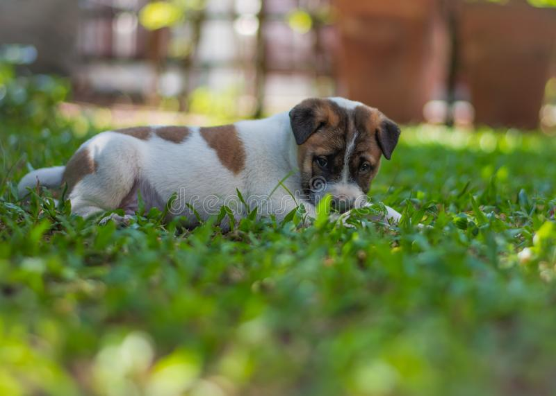 Bangkaew puppy ,dog. Bangkaew puppy runs on the lawn. It is innocent. It`s fun, it`s 1 month old royalty free stock images