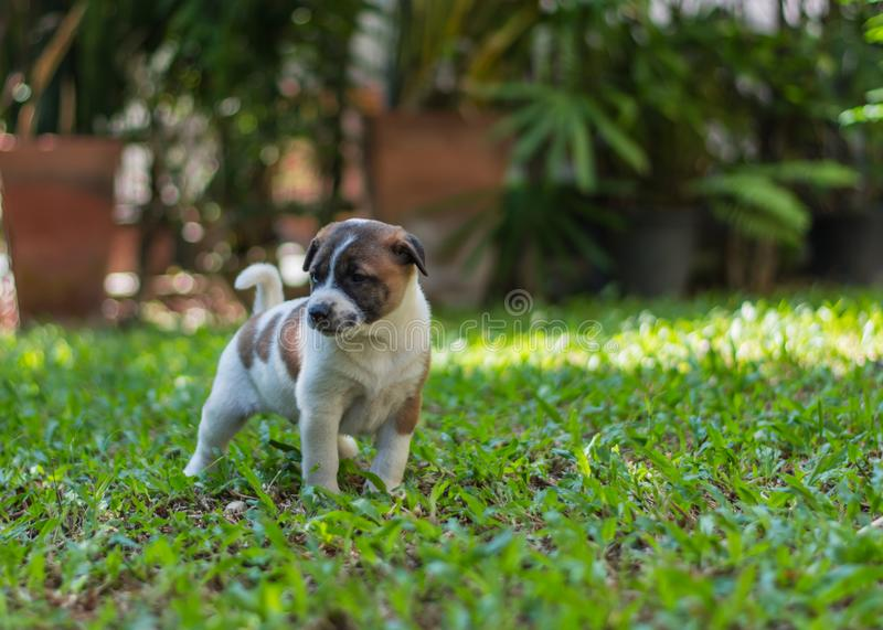Bangkaew puppy ,dog. Bangkaew puppy runs on the lawn. It is innocent. It`s fun, it`s 1 month old royalty free stock photography