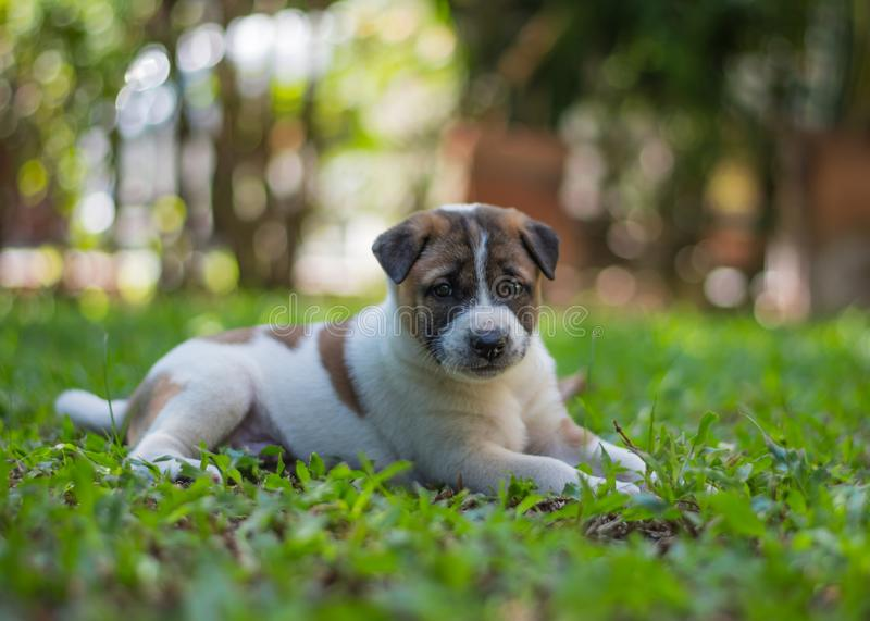 Bangkaew puppy ,dog. Bangkaew puppy runs on the lawn. It is innocent. It`s fun, it`s 1 month old stock photography