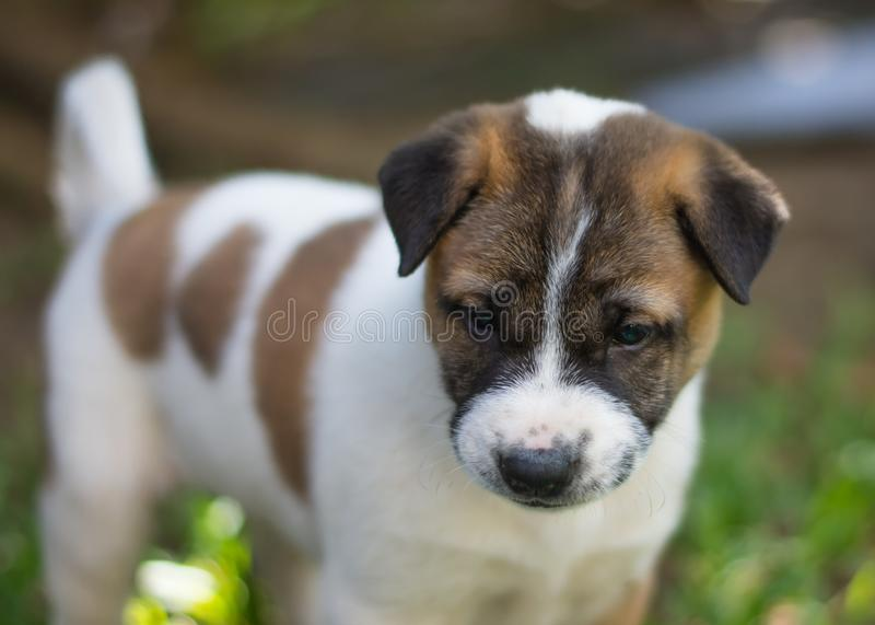 Bangkaew puppy ,dog. Bangkaew puppy runs on the lawn. It is innocent. It`s fun, it`s 1 month old royalty free stock image