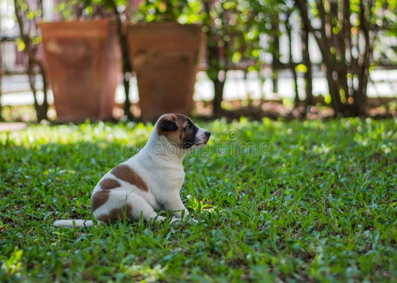 Bangkaew puppy ,dog. Bangkaew puppy runs on the lawn. It is innocent. It`s fun, it`s 1 month old stock image