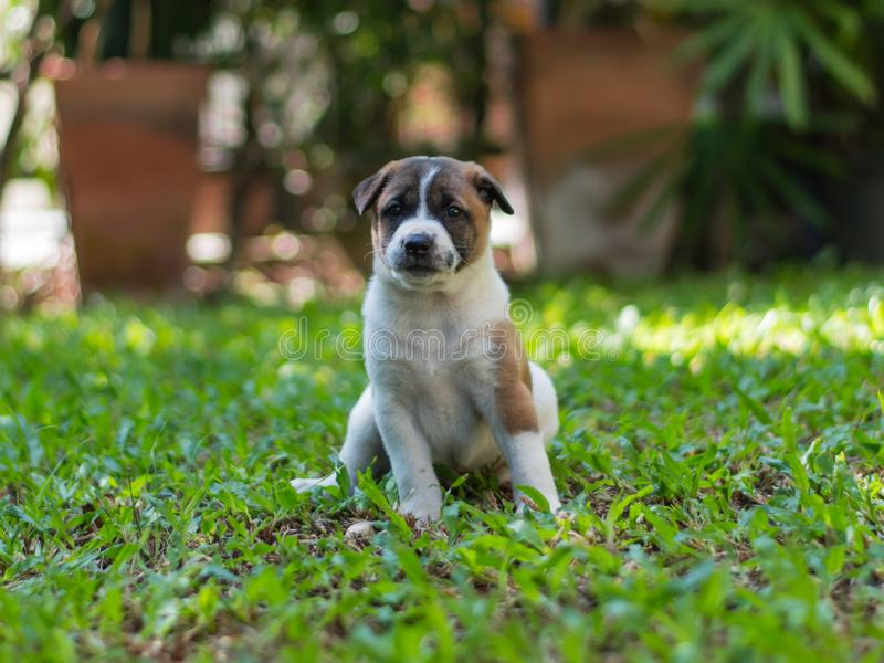 Bangkaewpuppy, hond royalty-vrije stock foto's