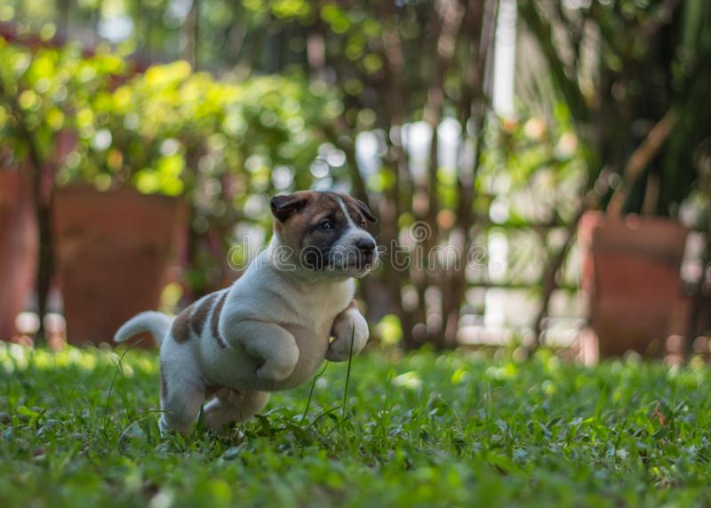 Bangkaewpuppy, hond royalty-vrije stock fotografie