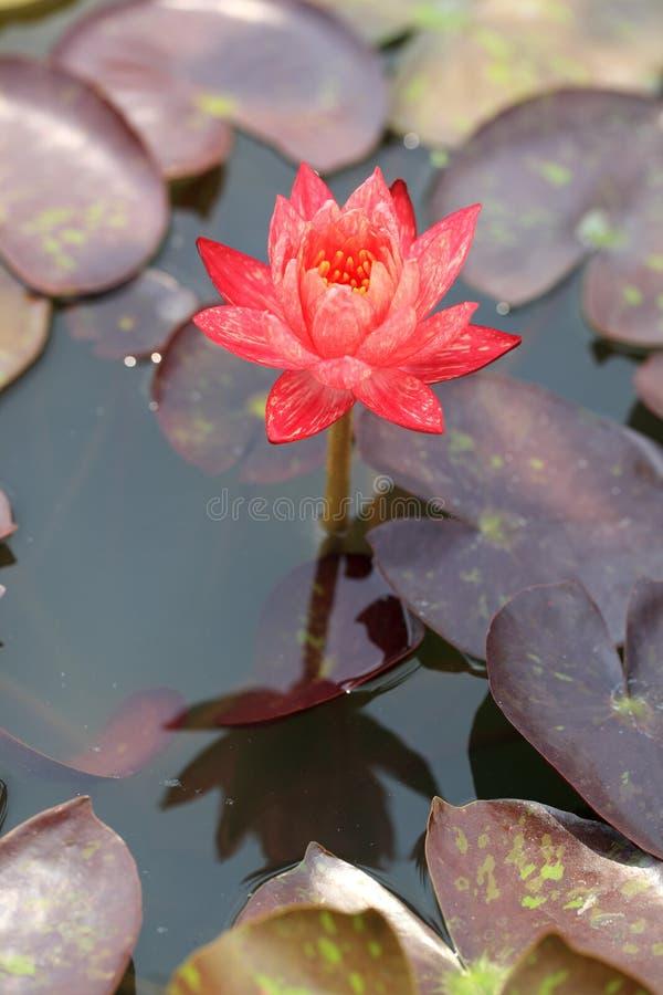 bangkok piękne lotosu menchie Thailand obrazy royalty free