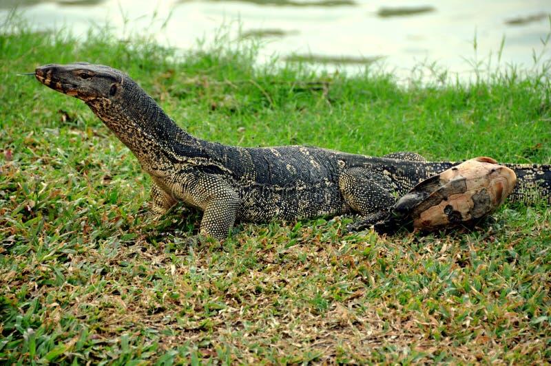 Bangkok Thailand: Den Komodo draken i Lumphini parkerar royaltyfri bild