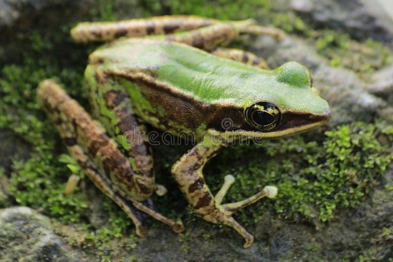 Bangkong da rã sob o sapo verde nas florestas tropicais de Indonésia imagens de stock royalty free