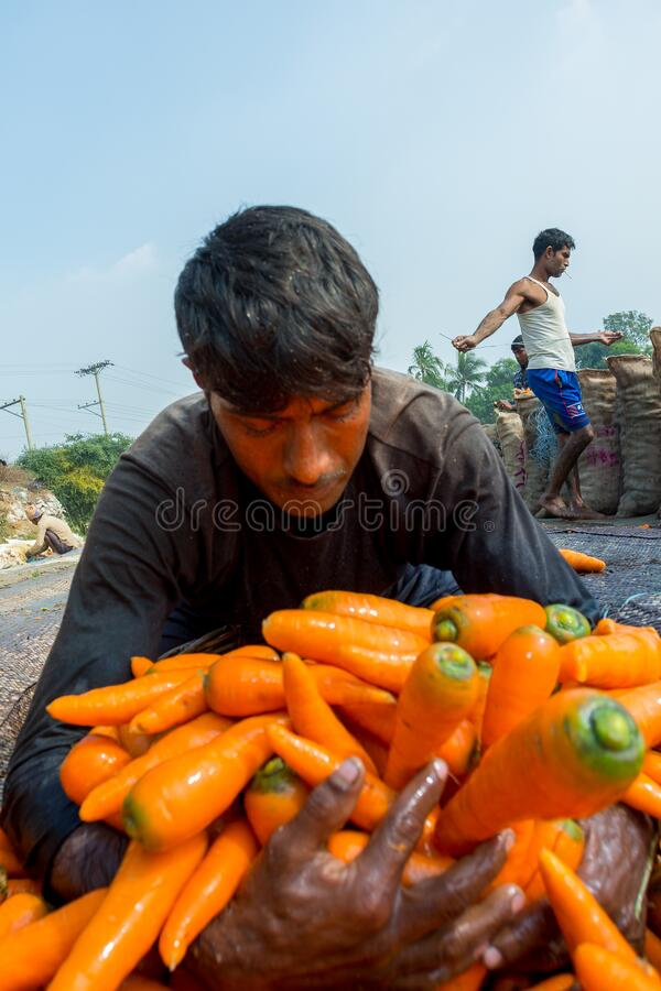 Farmers are putting lots of clean carrots in bamboo baskets at Savar, Dhaka, Bangladesh stock photography