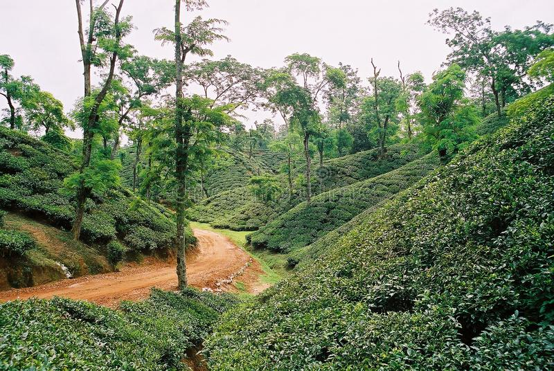 Tea garden at Sylhet, Bangladesh. In Bangladesh 95% tea cultivate in Sylhet, Tea garden at Sylhet, Bangladesh royalty free stock photo