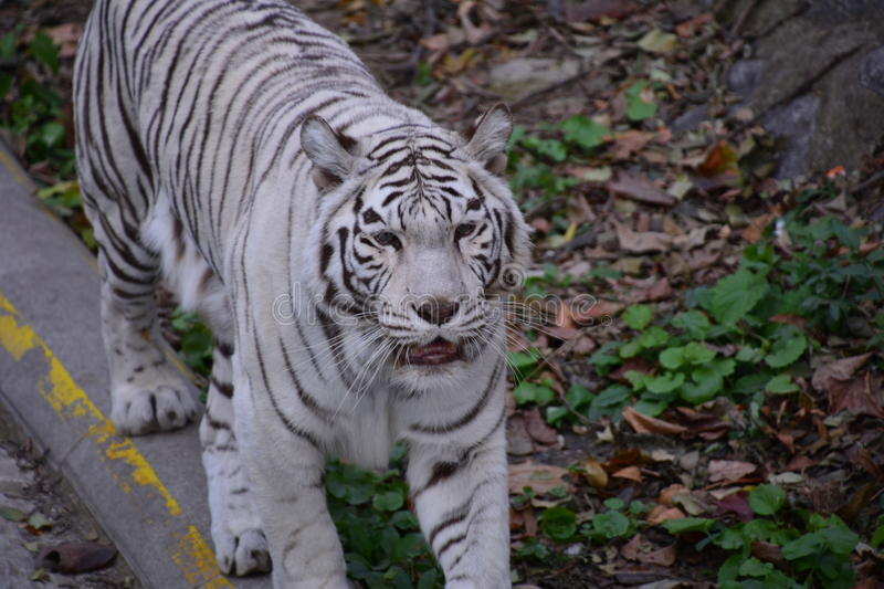 Bangladesh tiger. This is a Bangladesh tiger, it is a variant species, rare, very precious, photos taken at the Beijing zoo stock photography