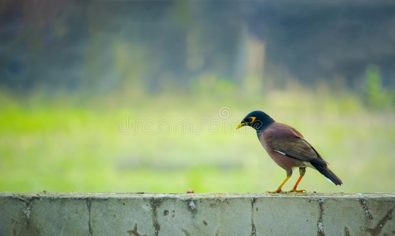 Bangladeshi bird also known as Indian Myna royalty free stock images
