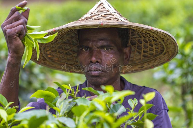 Skilled worker hands picking green tea raw leaves in Moulovibazar, Bangladesh. Bangladeshi man picks fresh tea leaves on tea plantation in Moulovibazar royalty free stock photography
