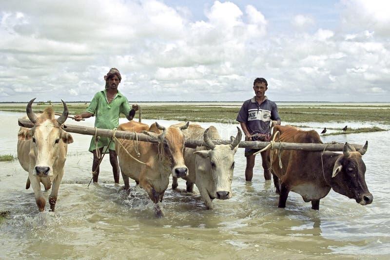 Bangladeshiska bönder som plogar med oxerisfältet royaltyfri fotografi