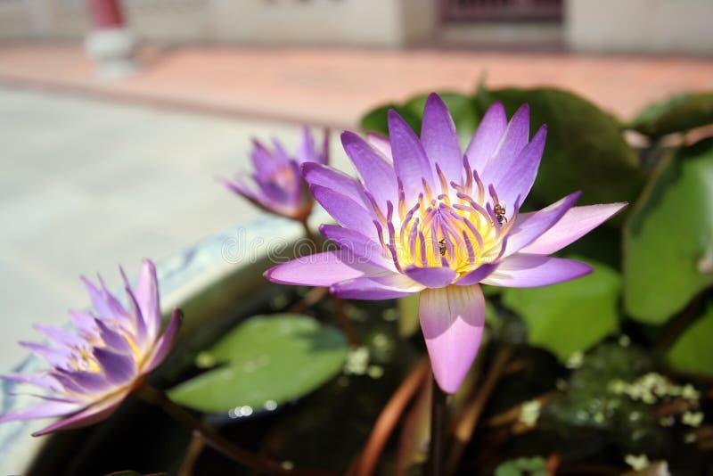 bangpa pałac piękny lotosowy zdjęcie stock