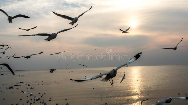 Bangpu, Tailandia 15 gennaio - 2018: Volo dei gabbiani ed i precedenti del cielo di tramonto, centro ricreativo di Bangpu, Tailan immagini stock libere da diritti