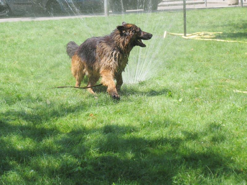 Banhando o cão fotografia de stock royalty free