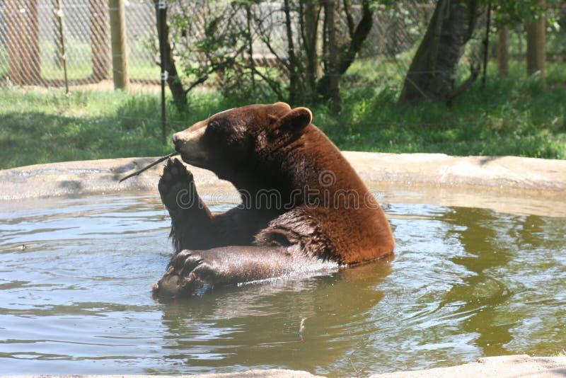 Banhando o urso da beleza fotos de stock