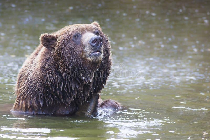 Banhando o urso marrom imagem de stock royalty free