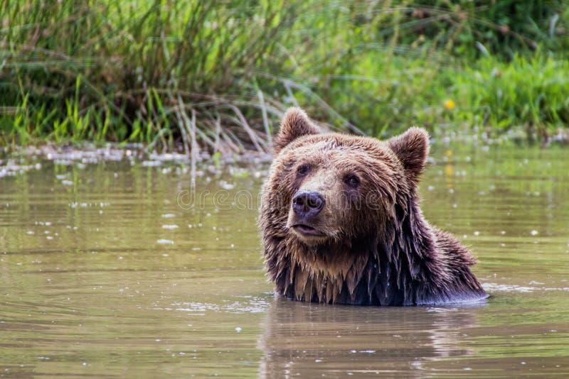 Banhando o urso marrom foto de stock royalty free