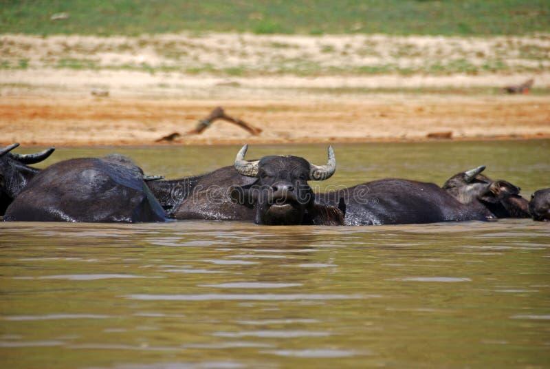 Banhando Oxes em Taman Negara, Malaysia foto de stock royalty free