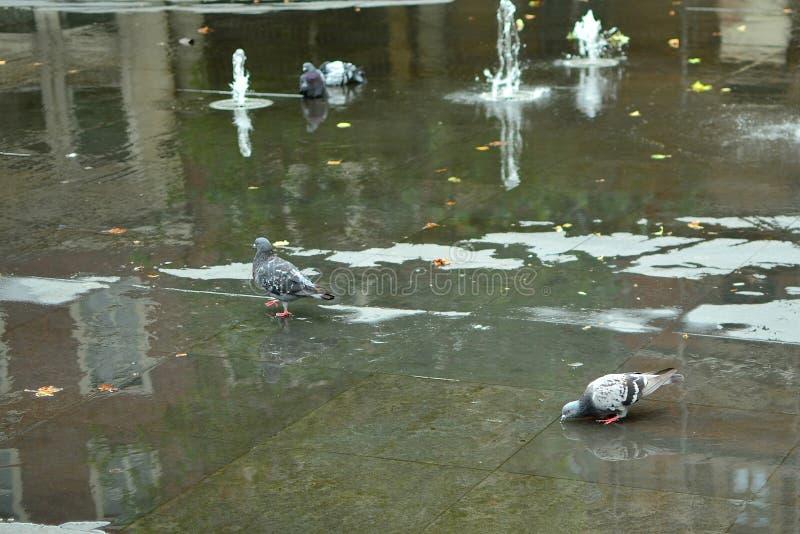 Banhando pombos fotos de stock