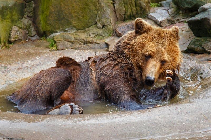 Banhando um urso marrom grande fotos de stock