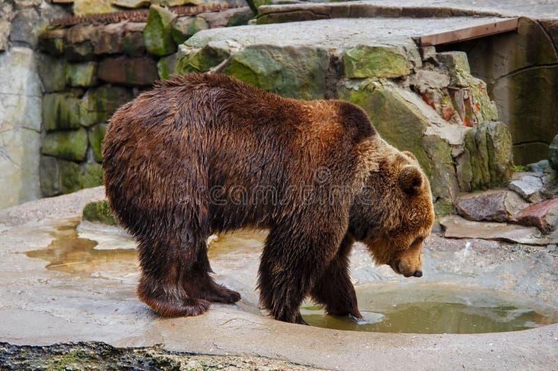 Banhando um urso marrom grande imagens de stock royalty free