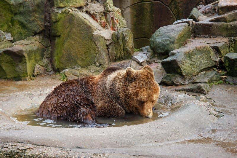 Banhando um urso marrom grande em uma poça fotos de stock