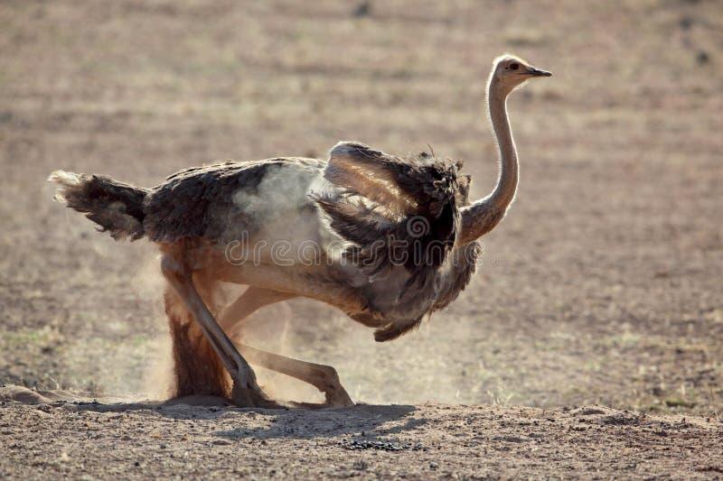 Banho da poeira da avestruz, deserto de Kalahari fotos de stock royalty free