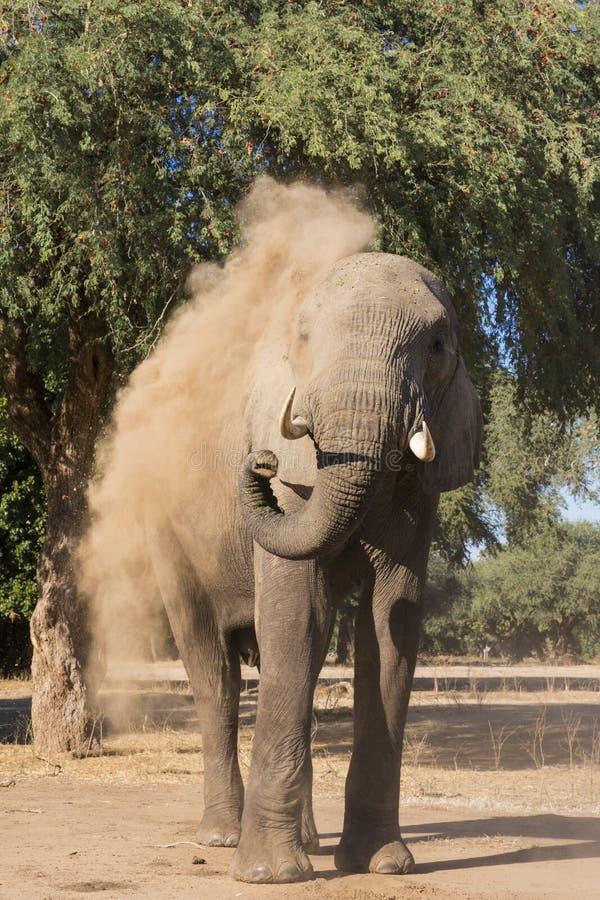 Banho da poeira do elefante africano fotografia de stock royalty free