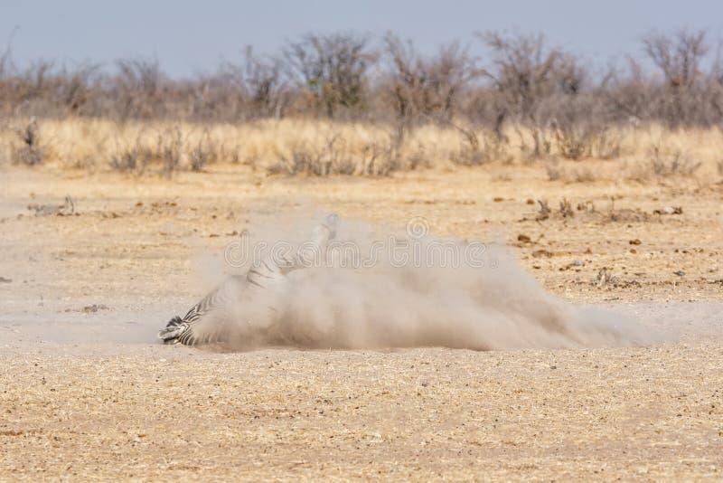 Banho da poeira da zebra foto de stock