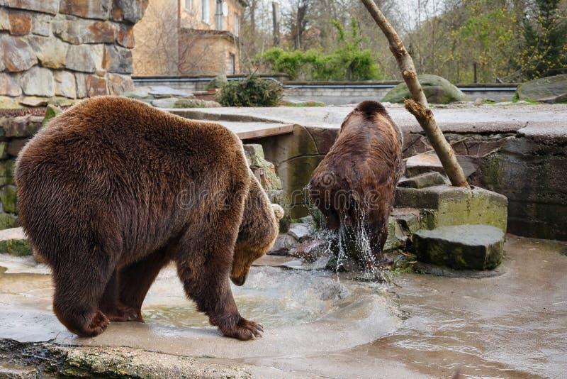 Banho ursos marrons grandes foto de stock