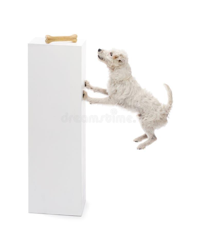 Banhoppning för ParsonRussell terrier på ett ben arkivfoto