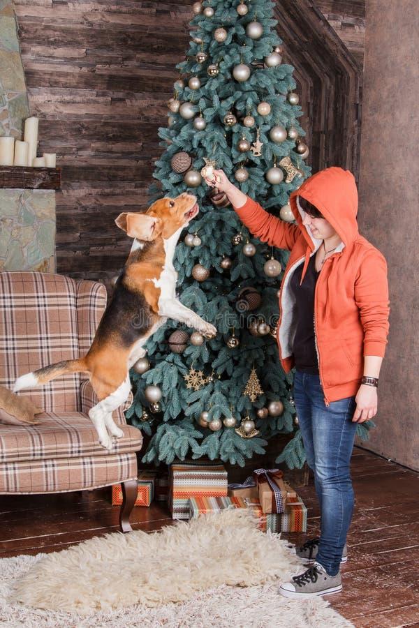Banhoppningbeaglehund med den kvinnlig ägare för ` s nära träd för nytt år royaltyfri bild