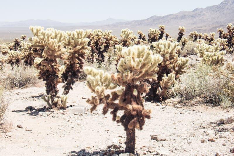BanhoppningCholla kaktus också som är bekant som den Cylindropuntia trädgården i Joshua Tree National Park California arkivfoto
