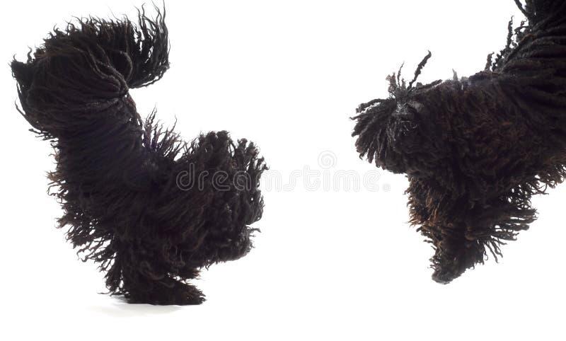 Banhoppninghundar arkivfoto