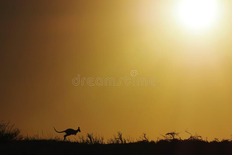 Banhoppningkänguru i morgonsolen arkivbild