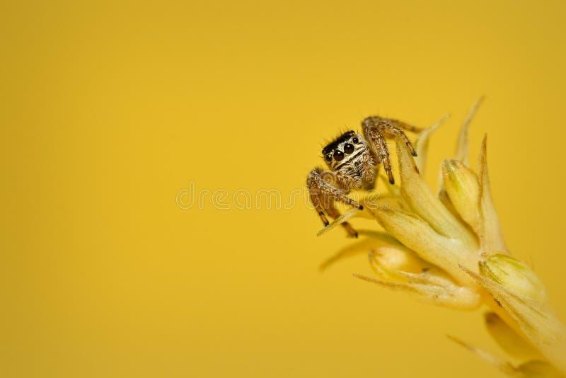 Banhoppningspindel, familj Salticidae på växten fotografering för bildbyråer