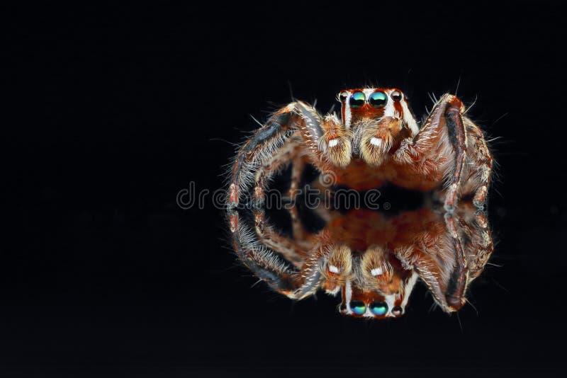 Banhoppningspindel p? svart bakgrund royaltyfri foto