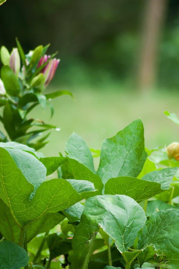 Bani leluja i rośliny fotografia royalty free