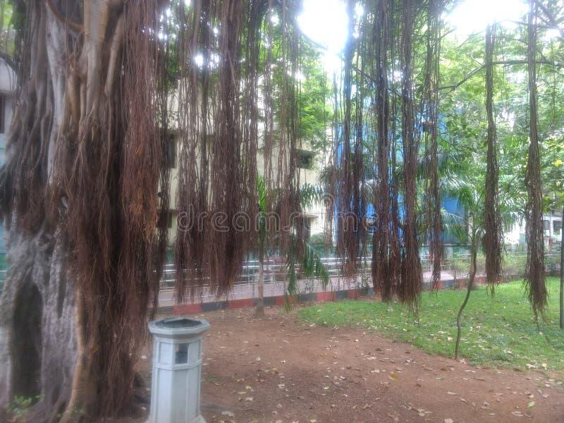 banian avec les racines d'appui vertical aériennes image stock