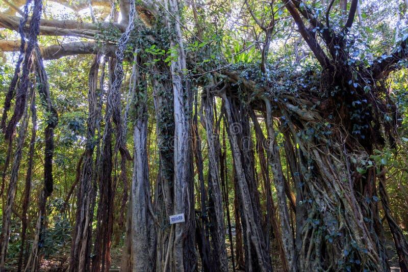 Banian en île de Yakushima photos stock