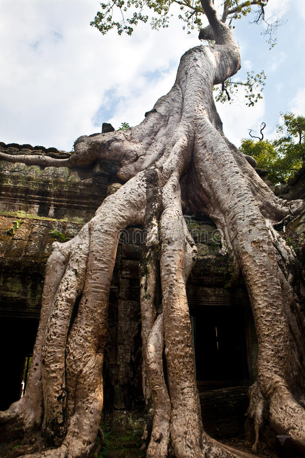 Banian s'élevant dans la ruine antique des ventres Phrom, Angkor Vat, Cambodge image libre de droits