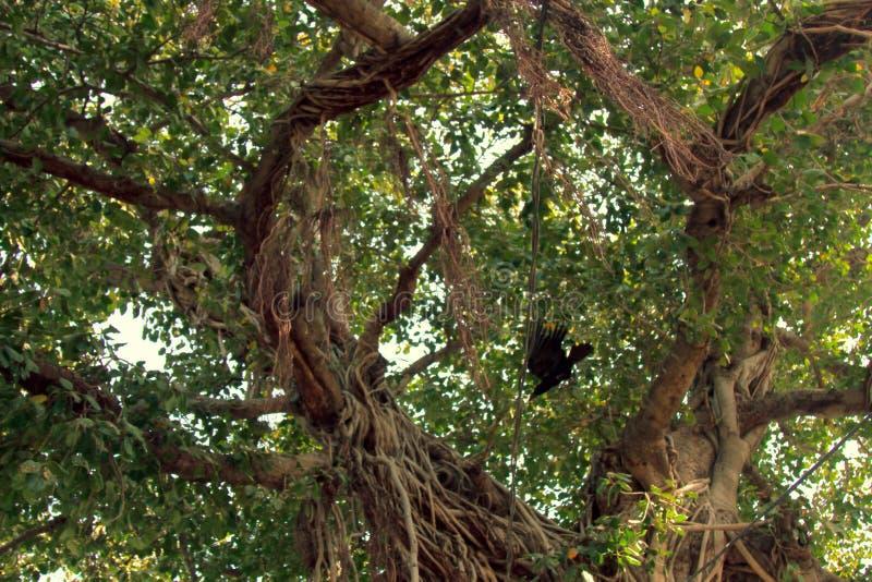 Baniano viejo con las raíces aéreas bien definidas foto de archivo libre de regalías