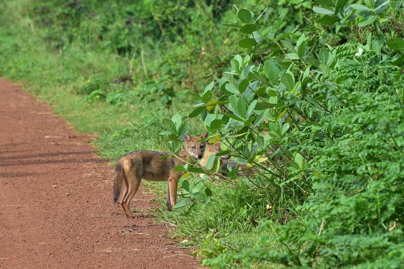 Family of Indian jackal. These bank-dwellers were worst hit by flood over river Damodar and took shelter behind a roadside bush on embankment in last August 2017 royalty free stock photography