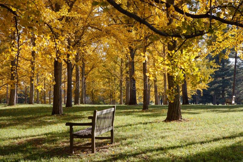 Bank in het Arboretum van Virginia van het Bosje Ginkgo stock afbeeldingen