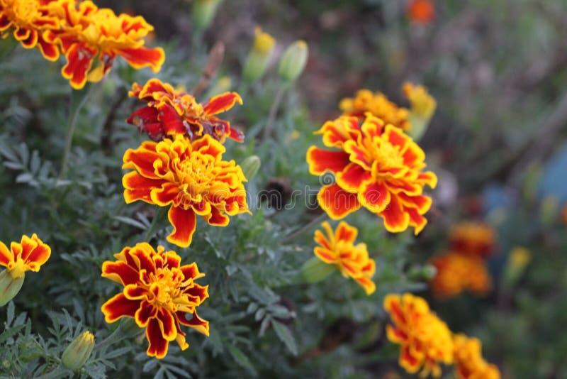 Marigolds yellow and orange 3101 stock images