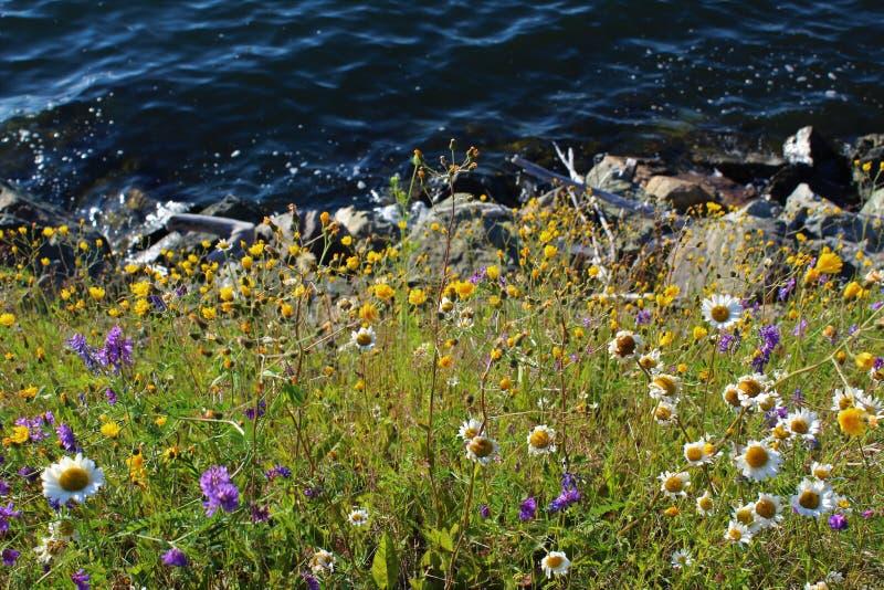 Bank pełno wildflowers na brzeg przylądek Bretońska wyspa w nowa Scotia zdjęcie royalty free