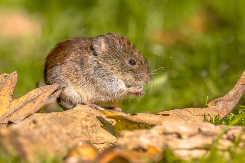 Bank vole hiding between leaves stock image
