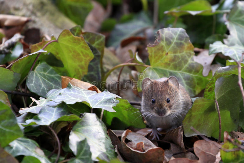 Download Bank Vole / Myodes Glareolus Royalty Free Stock Photography - Image: 37950587